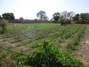 irrigation goutte a goutte APRES